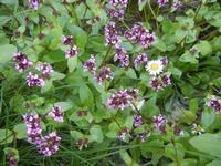 flora nei pressi del Lago Arancio - 26 febbraio 2012  - Sambuca di sicilia (1103 clic)
