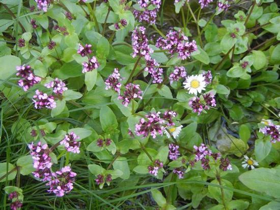 flora - SAMBUCA DI SICILIA - inserita il 14-Apr-14