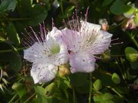 fiori di capperi presso il Castello Eufemio - 2 giugno 2012  - Calatafimi segesta (734 clic)