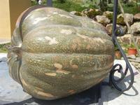 una grossa zucca - Baglio Arcudaci - 1 aprile 2012  - Bruca (1253 clic)