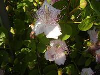 fiori di capperi presso il Castello Eufemio - 2 giugno 2012  - Calatafimi segesta (412 clic)
