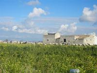 gregge e vecchie case  - Frazione SALINAGRANDE - 15 gennaio 2012  - Trapani (588 clic)