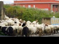 gregge lungo la strada  - 12 febbraio 2012  - Alcamo (416 clic)