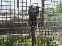 BIOPARCO di Sicilia - primati - 17 luglio 2012  - Villagrazia di carini (383 clic)