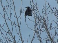 cornacchia grigia nei pressi del Lago Arancio - 26 febbraio 2012  - Sambuca di sicilia (1157 clic)