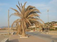 Spiaggia Playa - palme sofferenti sul lungomare - 18 maggio 2012  - Castellammare del golfo (283 clic)