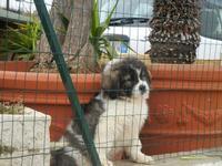 simpatico cucciolo oltre la rete  - 12 febbraio 2012  - Alcamo (480 clic)