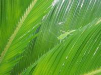 cavalletta verde su cicas - 9 agosto 2012  - Alcamo (227 clic)
