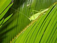 cavalletta verde su cicas - 9 agosto 2012  - Alcamo (242 clic)