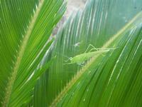 cavalletta verde su cicas - 9 agosto 2012  - Alcamo (244 clic)