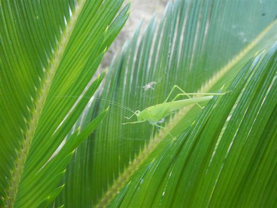 cavalletta verde su cicas - ALCAMO - inserita il 03-Aug-15