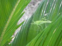 cavalletta verde su cicas - 9 agosto 2012  - Alcamo (223 clic)