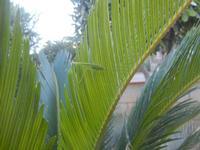 cavalletta verde su cicas - 9 agosto 2012  - Alcamo (215 clic)
