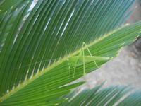 cavalletta verde su cicas - 9 agosto 2012  - Alcamo (262 clic)