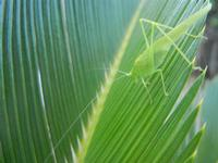 cavalletta verde su cicas - 9 agosto 2012  - Alcamo (266 clic)