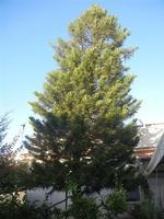 albero - 9 agosto 2012  - Alcamo (245 clic)