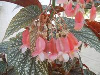 fiori di begonia rex - 9 agosto 2012  - Alcamo (316 clic)