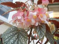 fiori di begonia rex - 9 agosto 2012  - Alcamo (246 clic)