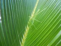 cavalletta verde su cicas - 9 agosto 2012  - Alcamo (246 clic)