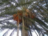 palma all'Imbarcadero Storico per l'Isola di Mozia - 29 gennaio 2012  - Marsala (418 clic)