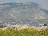 gregge e Monte Erice  - Frazione SALINAGRANDE - 15 gennaio 2012  - Trapani (537 clic)