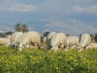 gregge e Monte Erice  - Frazione SALINAGRANDE - 15 gennaio 2012  - Trapani (923 clic)