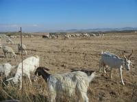 pecore e capre al pascolo - 15 agosto 2012  - Calatafimi segesta (461 clic)