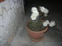 cactus fiorito - 18 maggio 2012  - Alcamo (317 clic)