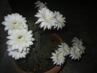 cactus fiorito - 18 maggio 2012  - Alcamo (340 clic)