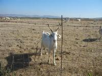 capra al pascolo - 15 agosto 2012  - Calatafimi segesta (342 clic)