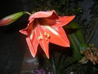 giglio rosso - 18 maggio 2012  - Alcamo (401 clic)