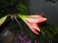 giglio rosso - 18 maggio 2012  - Alcamo (300 clic)