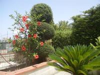 angolo del nostro giardino - ibisco rosso e cicas - 11 luglio 2012  - Alcamo (252 clic)
