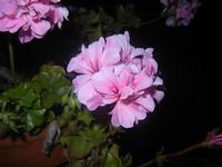 geranio - 18 maggio 2012  - Alcamo (333 clic)