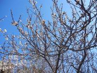 albicocco in fiore - giardino dell'I.C. G. Pascoli - 14 marzo 2012  - Castellammare del golfo (377 clic)