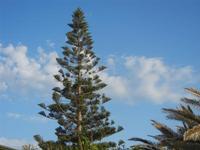 abete - 6 maggio 2012  - Castellammare del golfo (381 clic)