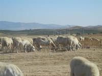 gregge di pecore al pascolo - 15 agosto 2012  - Calatafimi segesta (304 clic)