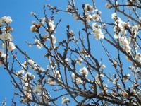 albicocco in fiore - particolare - giardino dell'I.C.   - Castellammare del golfo (399 clic)
