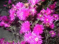 fiori - 18 maggio 2012  - Alcamo (465 clic)
