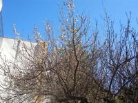 albicocco in fiore - giardino dell'I.C. G. Pascoli - 14 marzo 2012  - Castellammare del golfo (461 clic)