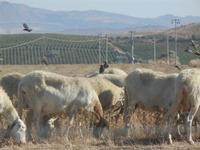 gregge di pecore al pascolo - 15 agosto 2012  - Calatafimi segesta (332 clic)