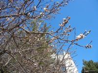 albicocco in fiore - particolare - giardino dell'I.C. G. Pascoli - 14 marzo 2012   - Castellammare del golfo (449 clic)