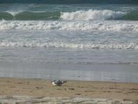 gabbiano in riva al mare - Spiaggia Plaja - 14 aprile 2012  - Castellammare del golfo (388 clic)