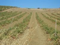 campo di pomodori - 15 agosto 2012  - Alcamo (266 clic)