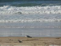 gabbiano e piccione in riva al mare - Spiaggia Plaja - 14 aprile 2012  - Castellammare del golfo (592 clic)