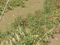 piante di pomodori - 15 agosto 2012  - Alcamo (276 clic)