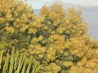 albero di mimosa in fiore - 14 marzo 2012  - Alcamo (1103 clic)