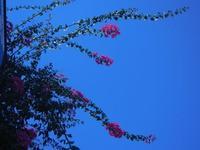 buganvillea - 23 agosto 2012  - San vito lo capo (372 clic)