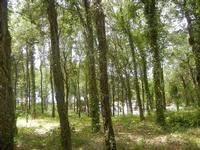 pineta - 5 agosto 2012  - Erice (377 clic)