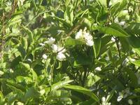 zagara - 3 maggio 2012  - Alcamo (333 clic)